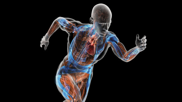 how do the musculoskeletal and cardiorespiratory systems of the body