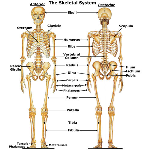 Major Bones Involved In Movement Hsc Pdhpe