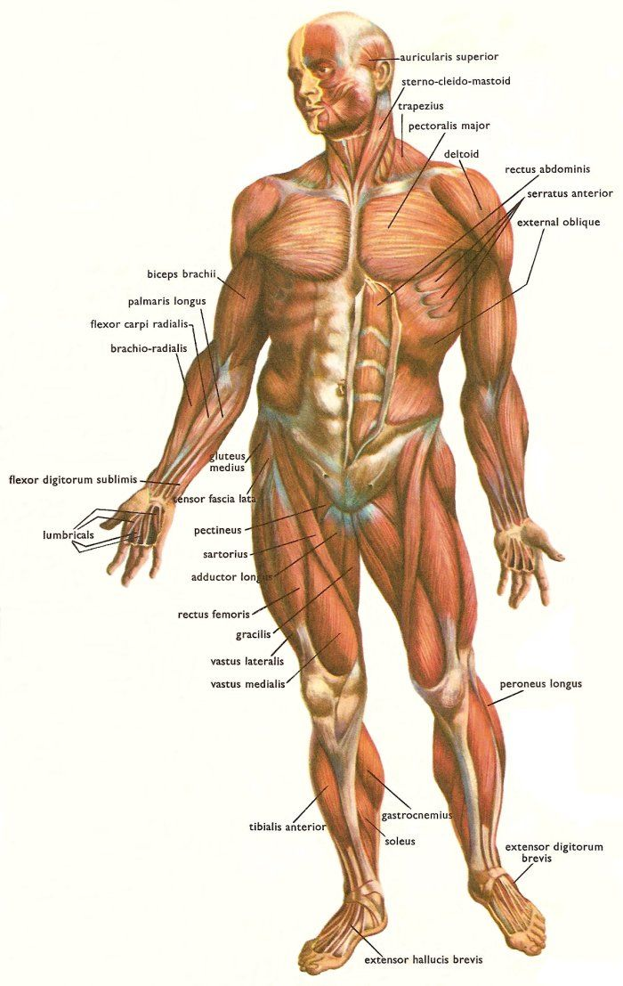 Major muscles involved in movement – HSC PDHPE