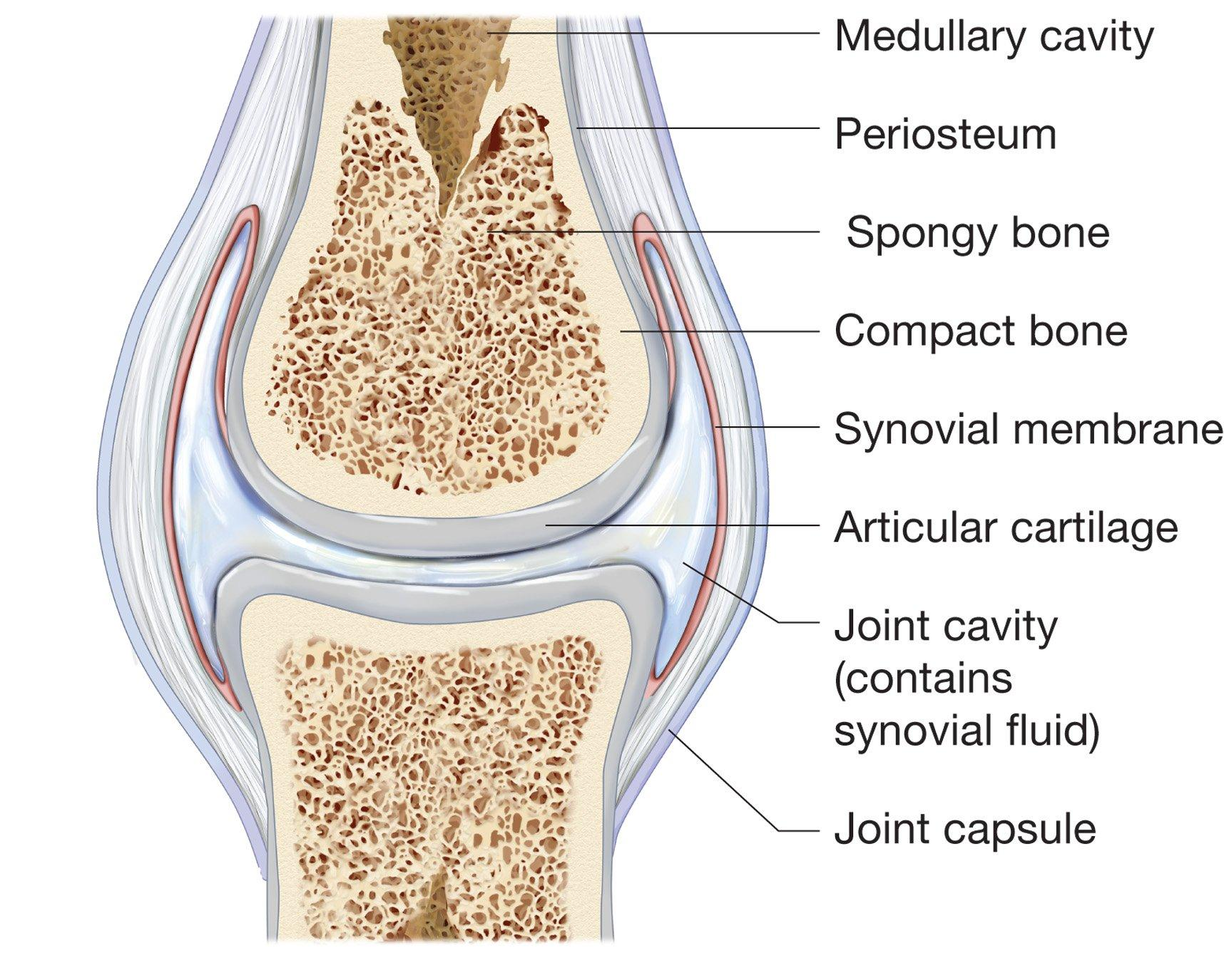 Structure and function of synovial joints hsc pdhpe the internal structure of each of these joints though slightly different in the number of ligaments tendons and whether they have menisci or other ccuart Choice Image