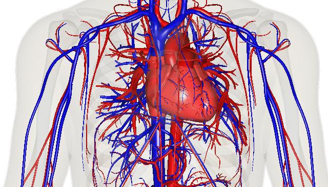 Circulatory system – HSC PDHPE