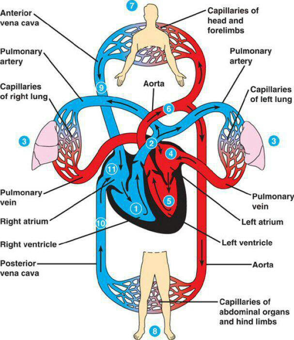 Pulmonary and systemic circulation – HSC PDHPE