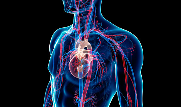 Pulmonary And Systemic Circulation Hsc Pdhpe