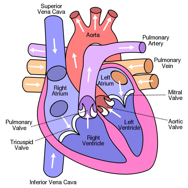 Structure and function of the heart, arteries, veins, capillaries ...