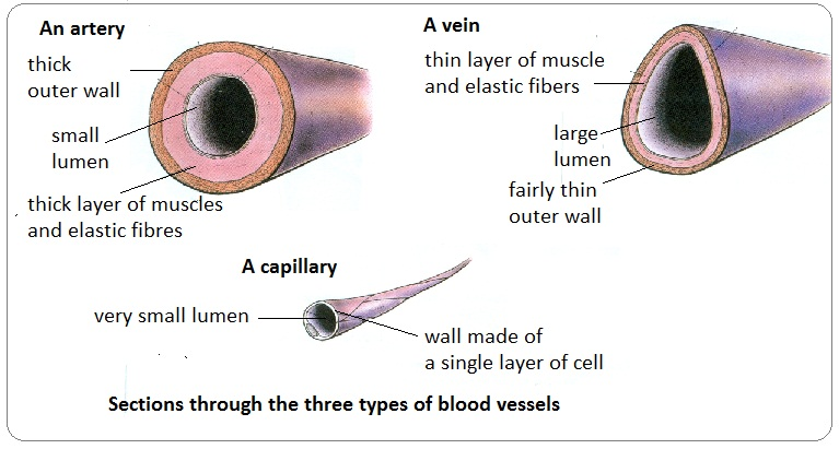 Structure And Function Of The Heart Arteries Veins Capillaries