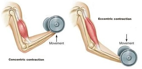 Yoga anatomy 2e: muscle contractions.