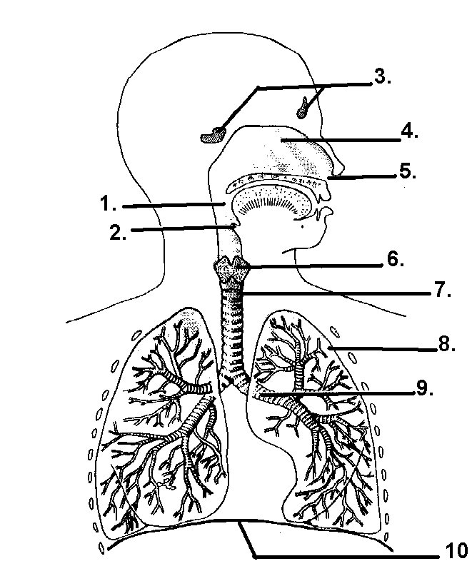 Respiratory system hsc pdhpe an error occurred ccuart Images